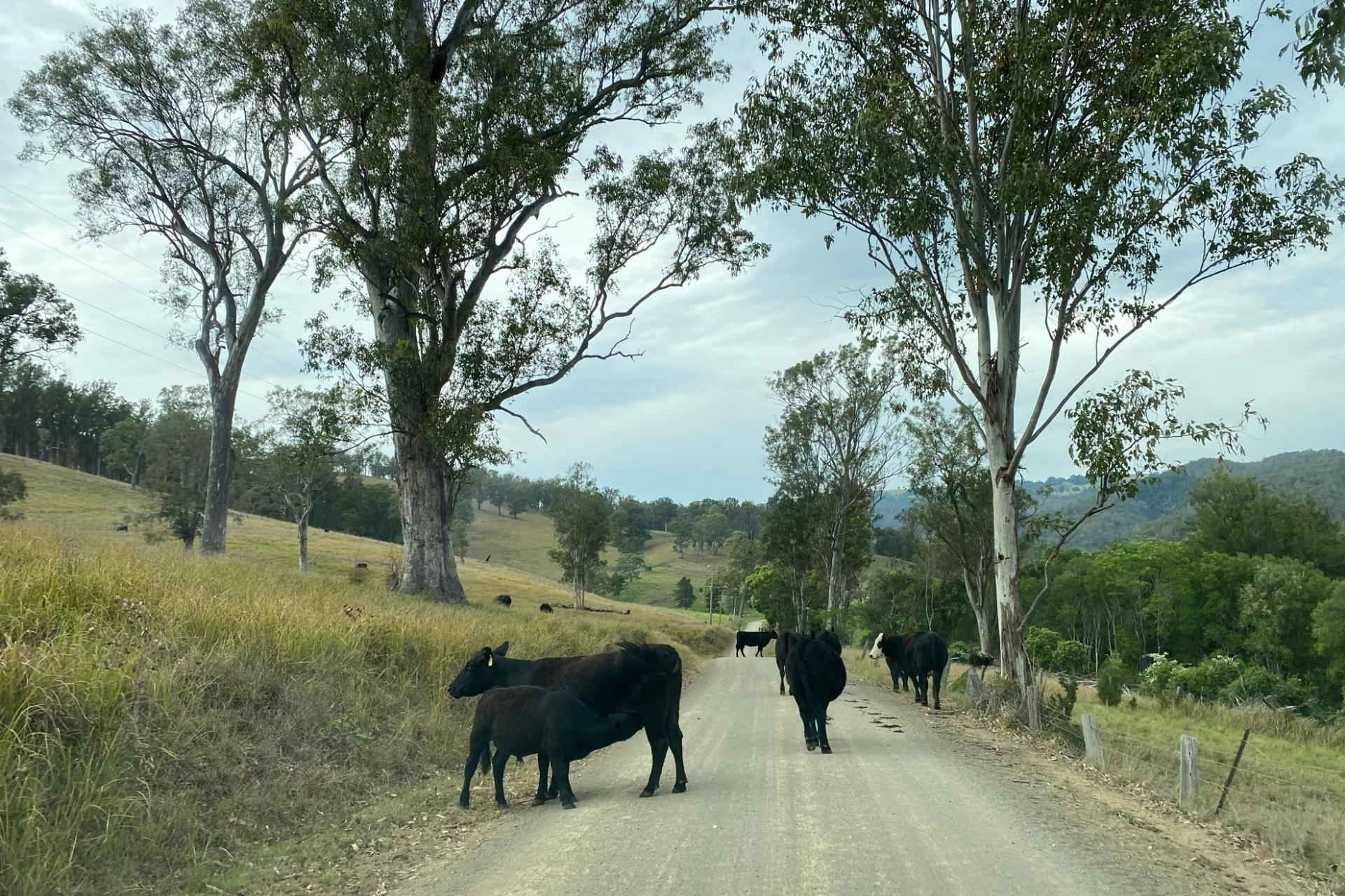 GROW Kids Farm Tour - Cows on the road.